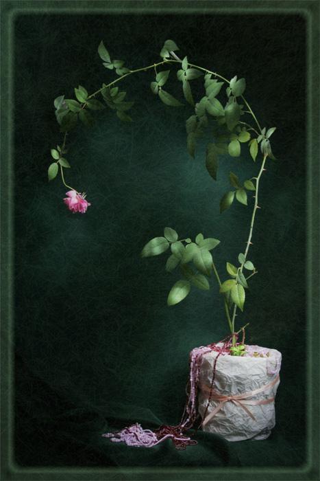 Портрет Одной Розы