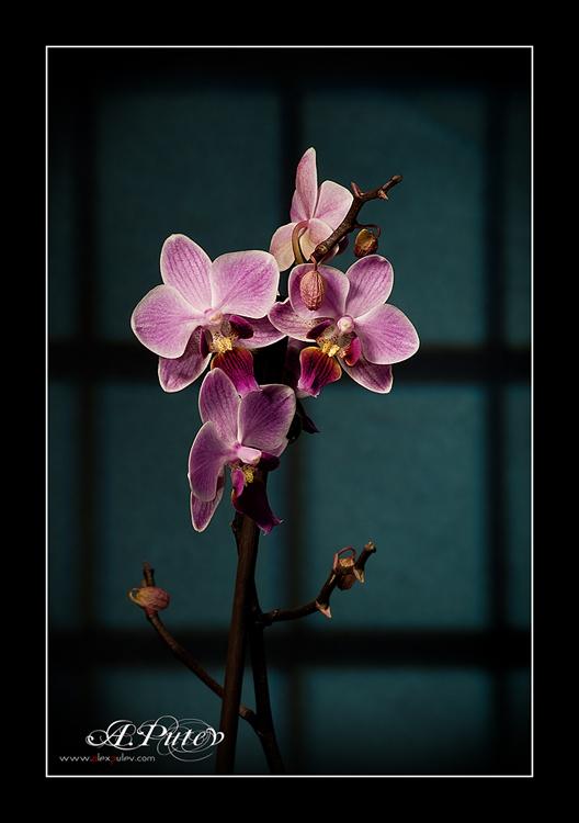 Orchid для ... Varda ...