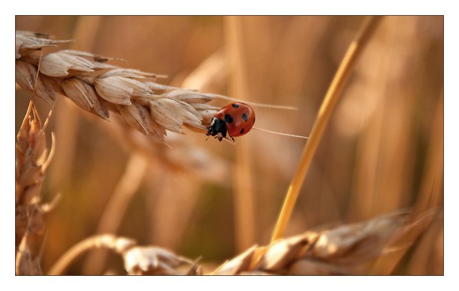 Ladybird II