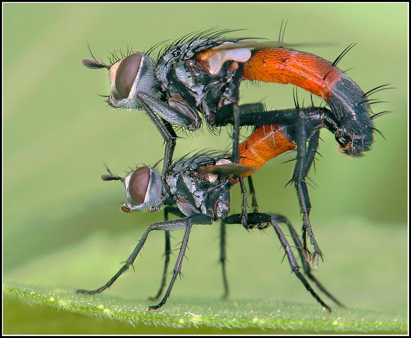 Акробатика мух.