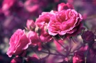 Июль. | Rose |