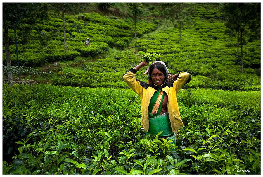 Сборщица чая