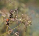 Ladybird III