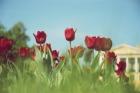 тюльпаны города
