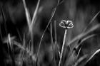 b&w dream... lonely butterfly...