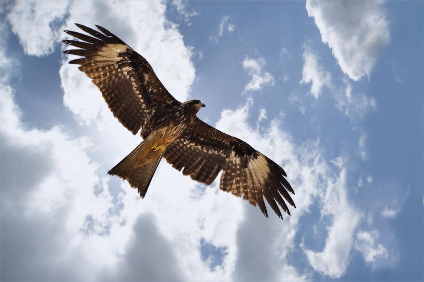 The Eagle Will Rise Again (c)